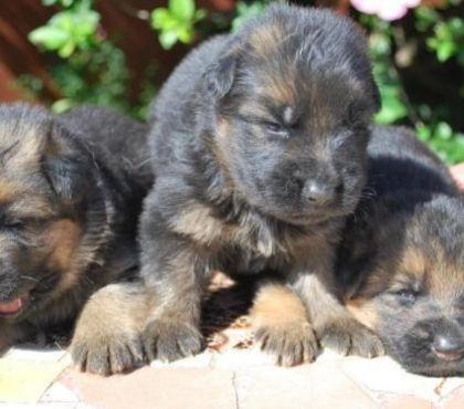 Fotos de cachorros ovejeros alemanes 50 días vacunados,desparasitados