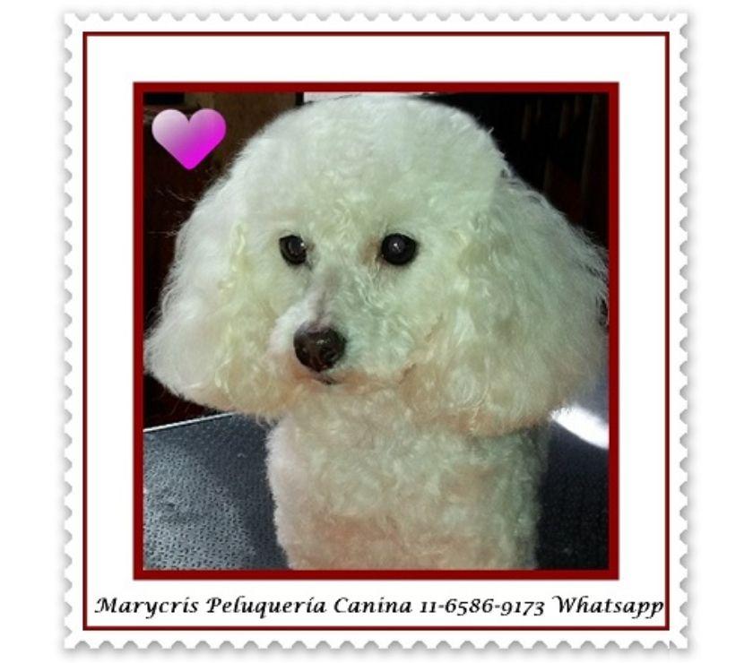 Fotos de Peluquería canina a domicilio en C.A.B.A. Baños y cortes.
