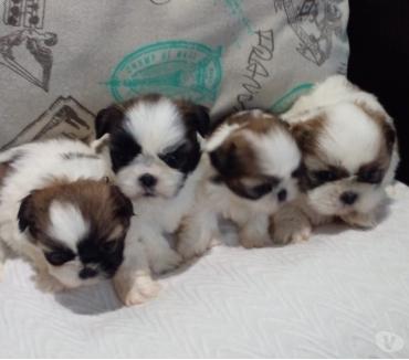 Fotos de Shihtzu cachorritos