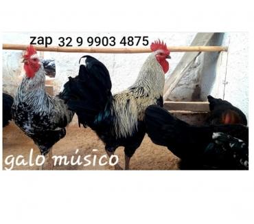 Fotos para Dúzia de ovos galados do galo músico cantor canto longo ----