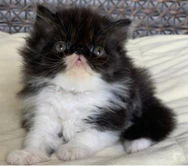 Fotos para Show de Gato persa macho filhote bicolor Com 57 dia Lindo.
