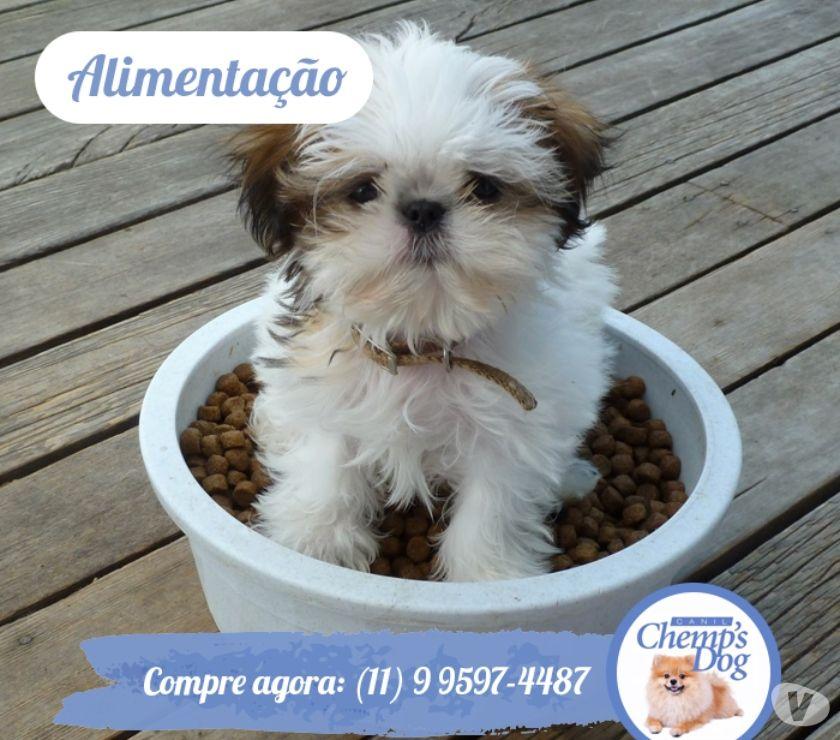 Animais Estimação à Venda Grande Sao Paulo SP Cotia - Fotos para Filhotes de Shihtzu