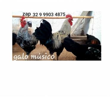 Fotos para Venda de ovos galados da raça galo musico brasileiro chocar.
