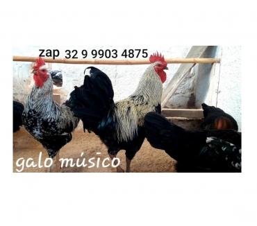 Fotos para Venda de ovos galados do galo galinha musico música cantor _