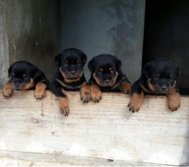 Fotos para Rottweiler Filhotes Puros Porte Grande