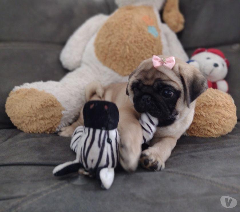 Animais Estimação à Venda Paulista PE - Fotos para Pug fêmea com pedigree