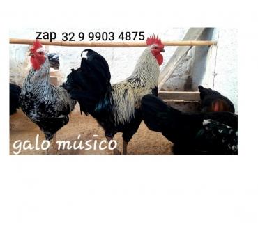 Fotos para Vendo Ovos galados de galo musico cantor. Promoção!!!!!!!!!!