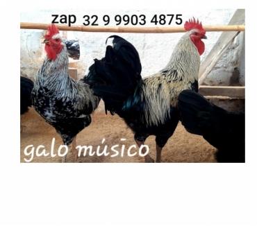Fotos para Venda de ovos lindo galo musico cantor canto longo - oferta.