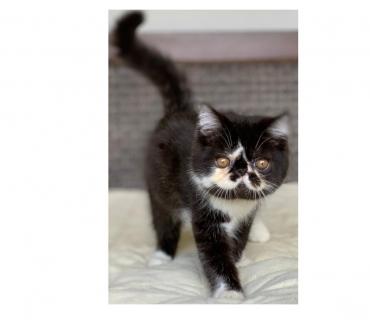 Fotos para Show Gato Persa de macho bicolor Exotico pelo curto Lindo.