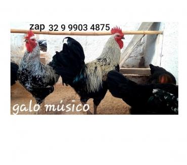 Fotos para Ovos galados férteis raça galo músico cantor para incubação