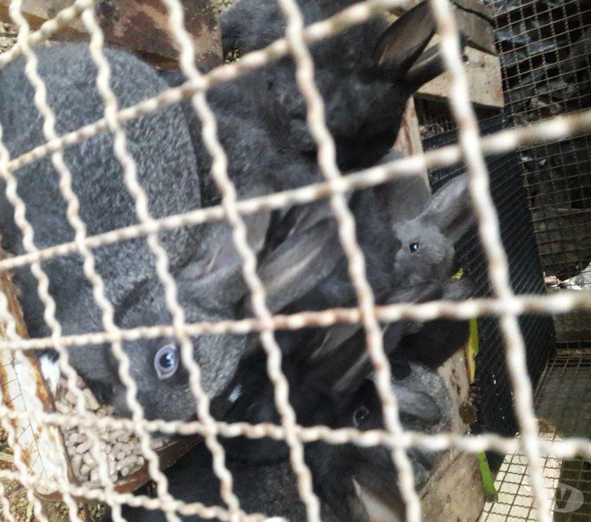 Animais Estimação à Venda Barra do Pirai RJ - Fotos para Filhote de coelho