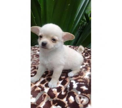 Fotos para Filhotes de Chihuahua