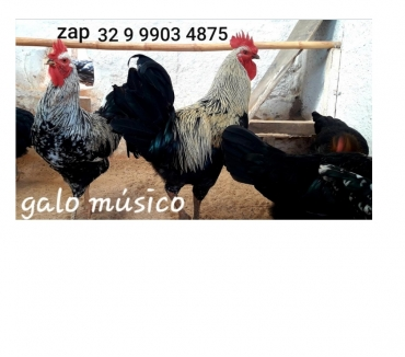 Fotos para Ovos galados de galo musico cantor canto longo para chocar '
