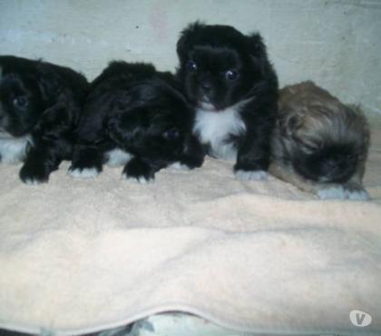 Fotos para Filhotes de Pequines - Canilchempsdog