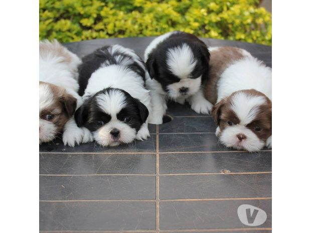 Fotos para Filhotes - Canilchempsdog