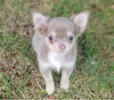 Fotos para Linda fêmea Chihuahua