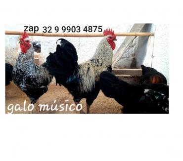 Fotos para Ovos galados galo musico cantor canto longo galinhas chocar