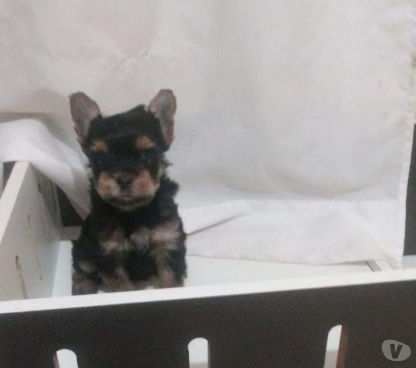 Animais Estimação à Venda Campinas SP - Fotos para Filhotes de york!! A Pronta Entrega