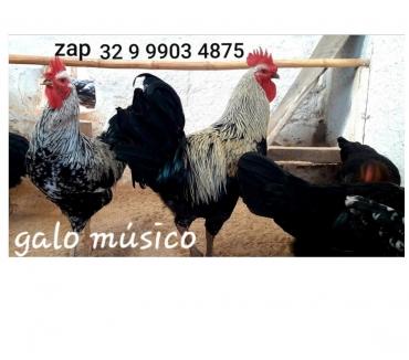 Fotos para Ovos galados do mais puro galo músico cantor com canto longo