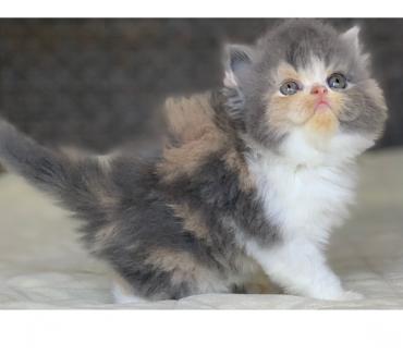 Fotos para Show Gata Persa filhote Feméa tricolor com 57 dia linda.