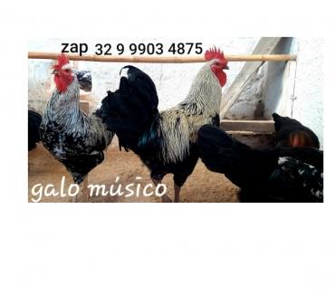 Fotos para Ovos galados para chocar da raça galo musico cantor. Venda .