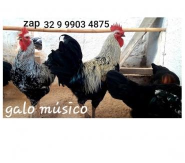 Fotos para Ovos galados férteis do real GALO MÚSICO cantor canto longo¨