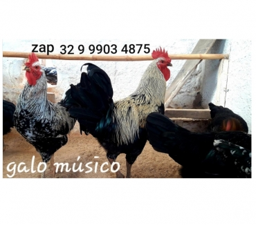 Fotos para Ovos da raça galo musico cantor canto longo para chocar ...