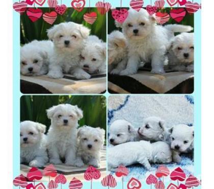 Fotos para Maltês - Canil Chemp's Dog