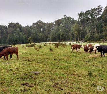 Fotos de Extraordinario Campo Ganadero 314 hectareas en Ancud-Chiloé