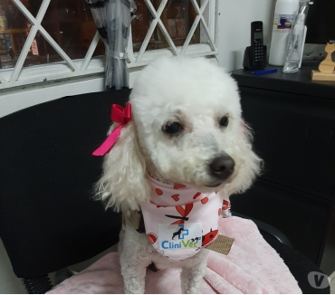 Fotos de French poodle en adopcion