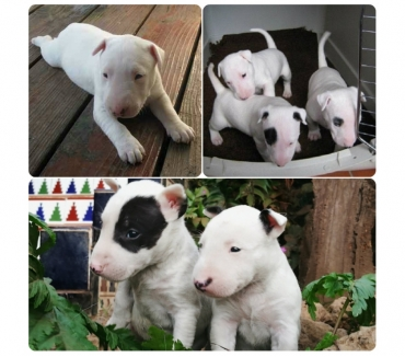 Fotos de BULLTERRIER ORIGINALES