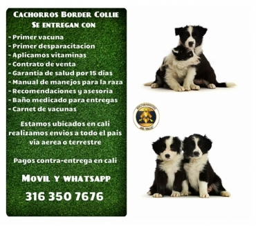 Fotos de Vendemos excelentes cachorros Border collie