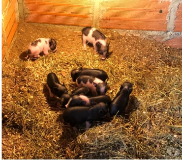 Fotos de Hermosos Mini Pigs Cerdos Vietnamita Recien Nacidos En Antio