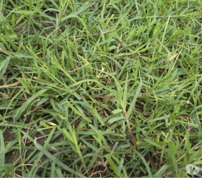 Fotos de grama natural bermuda grass