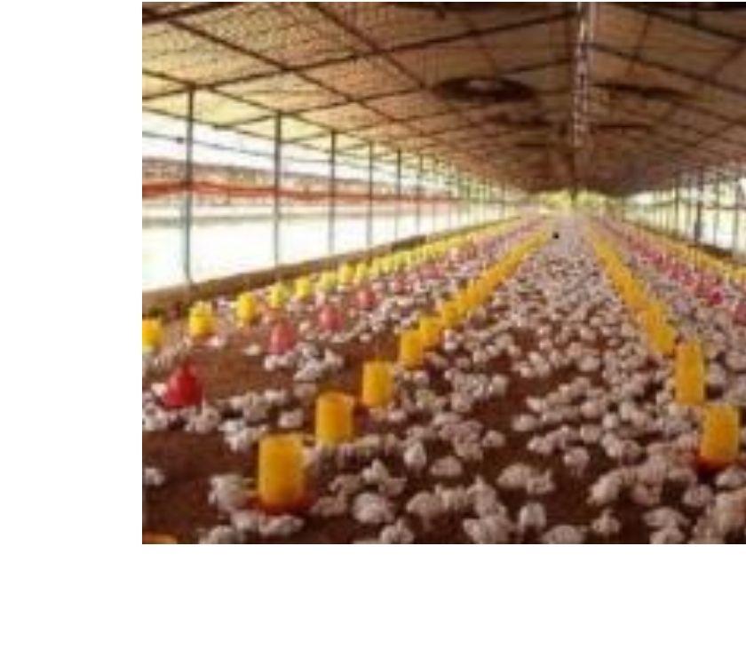 Fotos de Compra de pollos vivo