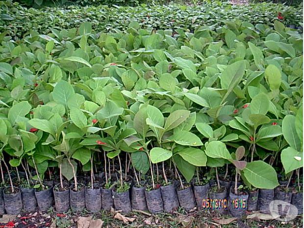 Fotos de semillas teca Colombia y venezuela