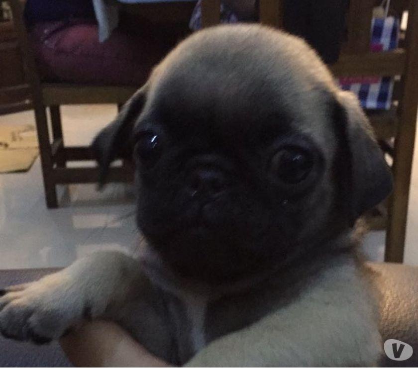 Fotos de Espectaculares cachorros Pug Carlino y más de 35 razas!