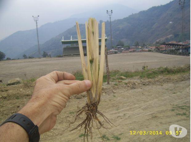 Fotos de semilla haz macolla vetiver venezuela