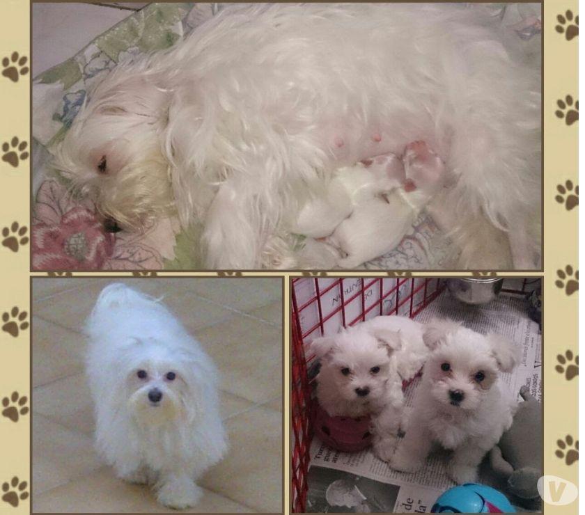 Fotos de Cachorros Maltes MACHO Con Pedigree Tamaño Pequeño