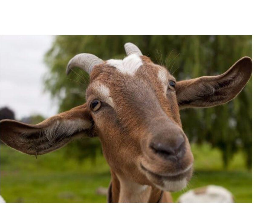 Fotos de Busco comprar cabras lecheras. Aviso actualizado Nov 2017