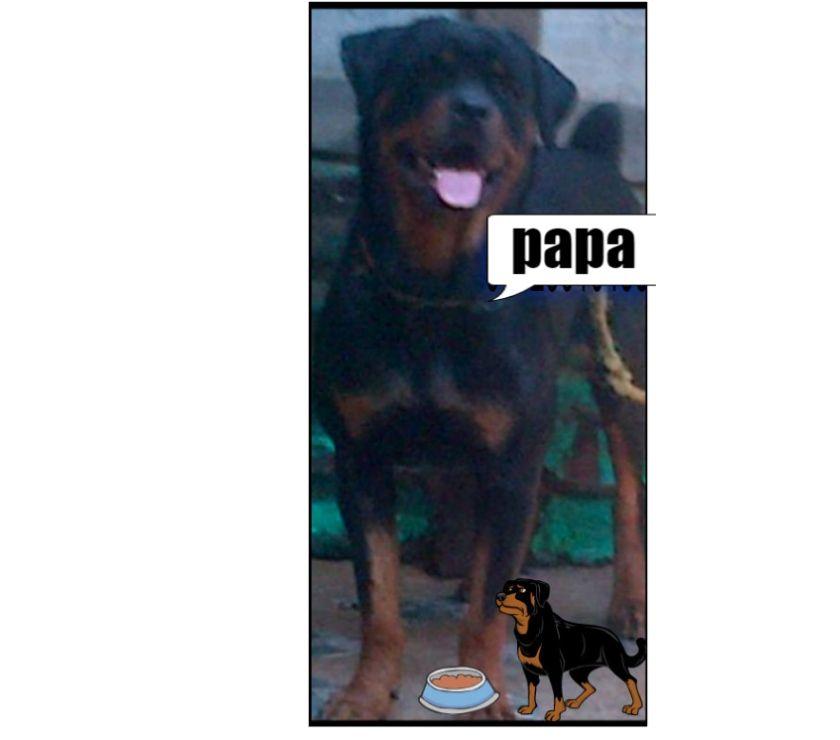 Fotos de (cachorros rottweiler) 100puros madre con pedigree