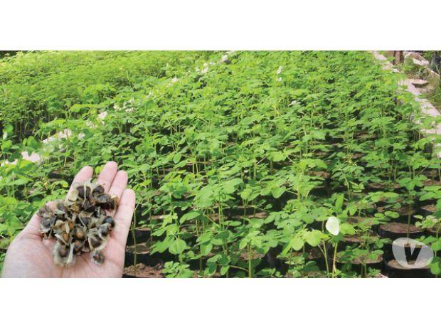 Fotos de semillas moringa oleifera venezuela