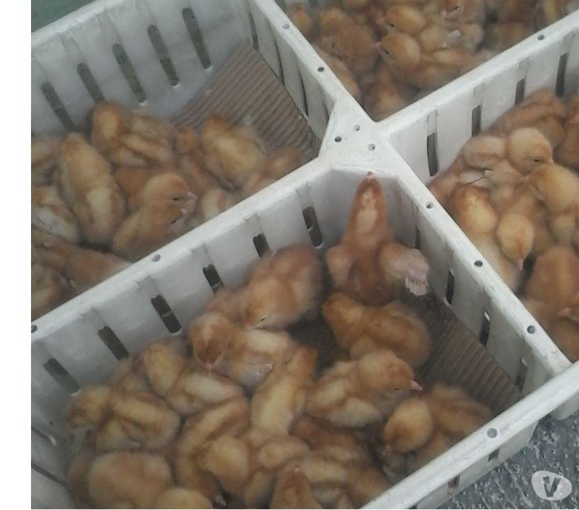 Fotos de a la venta pollitas ponedoras y pollitos de engorde