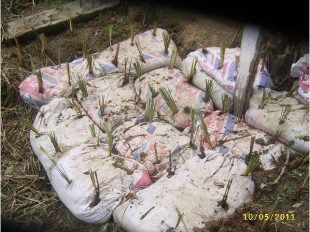 Fotos de bioingenieria vetiver venezuela